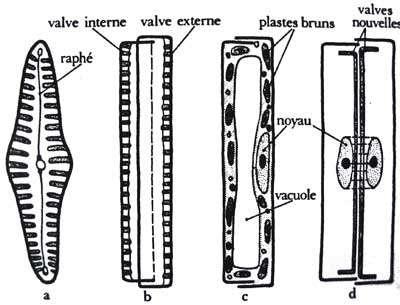 Détails anatomiques de diatomées : en a, présentation du raphé ; en b la nomenclature des valves ; en c l'anatomie interne ; en d, l'apparition des valves nouvelles suite à une division. © DR