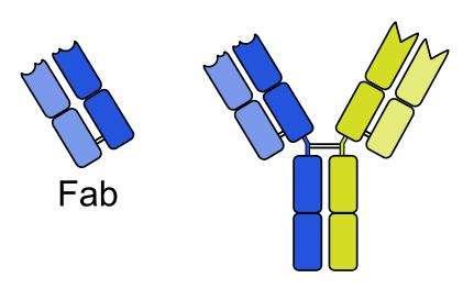 Le Lucentis correspond à la partie Fab (fragment de fixation à l'antigène) de l'anticorps monoclonal entier qu'est l'Avastin. © Anypodetos, Wikimedia, domaine public