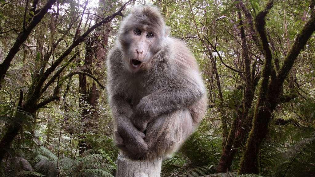 Le macaque du Tibet