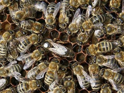 Reine (point blanc) entourée de ses ouvrières. © Waugsberg Licence de documentation libre GNU, version 1.2