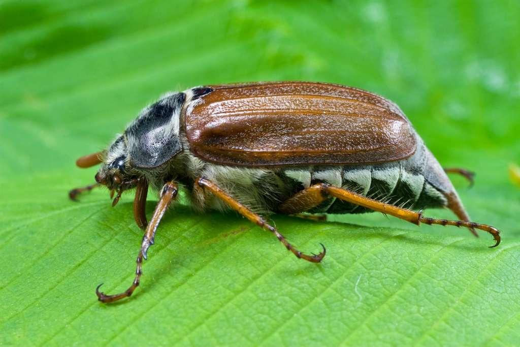 Le ver blanc, la larve du hanneton, se nourrit de racines et fait des ravages dans votre potager. © Graja, Adobe Stock