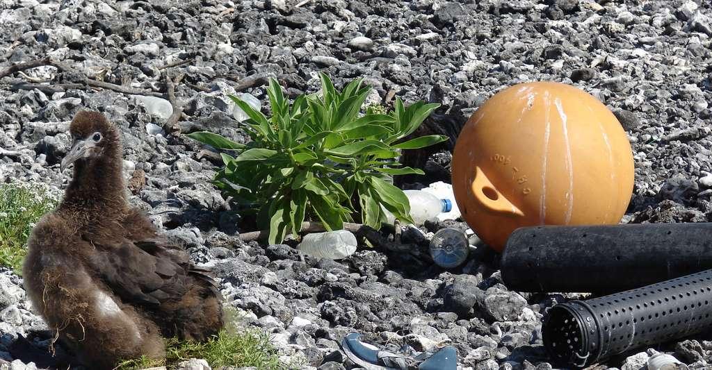 Réduire les déchets plastique est un enjeu crucial. Ici, un pauvre poussin perdu parmi les déchets. © Forest & Kim Starr, Wikimedia Commons, CC by 3.0