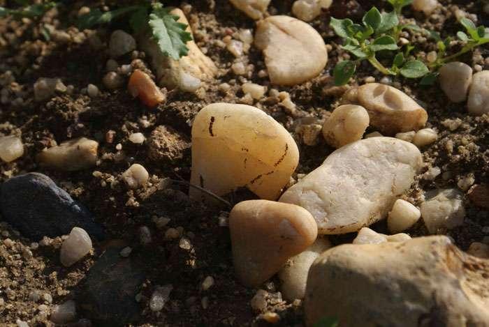 Ces cailloux multicolores jonchent le domaine de Château Figeac, l'un des rares grands crus de Saint-Émilion à posséder un terroir de « graves », déposés par l'Isle et la Dordogne, plutôt qu'à reposer sur du calcaire, comme la plupart des domaines de l'appellation. © C. Frankel