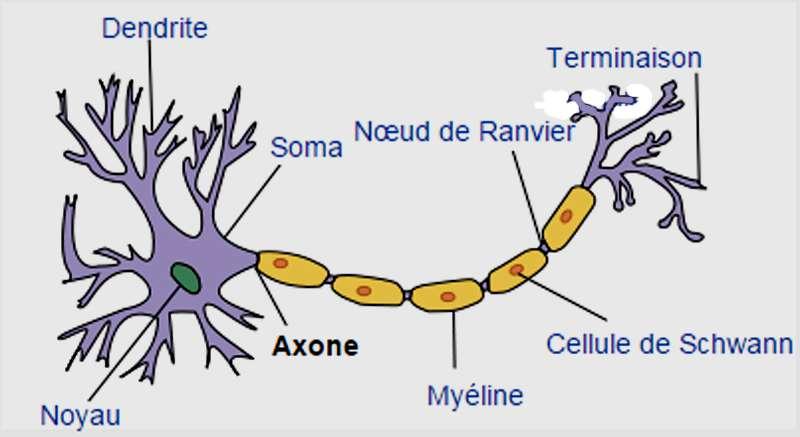 Les neurones récepteurs olfactifs (NRO) sont des neurones bipolaires. © Selket, CC by-nc 3.0