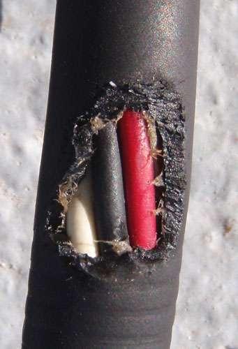 Ces traces de morsures ont été trouvées sur le second câble d'alimentation. Il a été fixé à la caméra Medusa après le premier incident. Seuls les bathynomes auraient la capacité de découper le caoutchouc d'une telle manière. Medusa est opérationnelle jusqu'à 2.000 m de profondeur. © Lee Frey et blogs.smithsonianmag.com