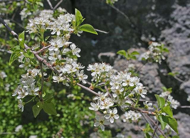 Prunier de Sainte Lucie, de la famille des rosacées. © Manuel M. Ramos, Flickr CC by nc-sa 2.0