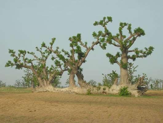 Une fois tombé à terre, les baobabs ont la faculté de se régénérer à partir des branches et de former ainsi sur l'ancien tronc de nouveaux arbres. © S . Garnaud Reproduction et utilisation interdites