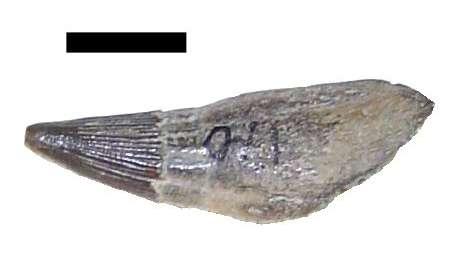 Dent d'ichthyosaure (Platypterygius), retrouvée dans les sédiments de l'Albien d'Angleterre (barre = 1 cm). © A. Bernard, INSU