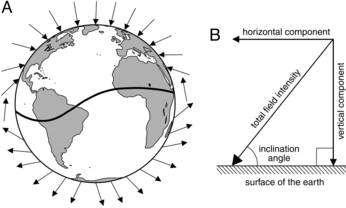 L'intensité du champ magnétique et son orientation dans les trois dimensions varient de manière importante à la surface de la Terre. © Kenneth Lohman et al./Pnas