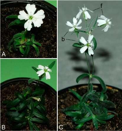 Spécimens de Silene stenophylla actuel (A) et issus du fruit déterré dans le pergélisol (B, femelle et C, bissexué). © Yashina et al. 2012, Pnas