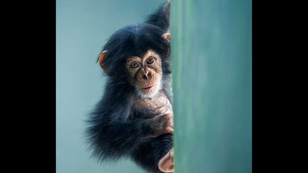 Le chimpanzé, notre plus proche parent