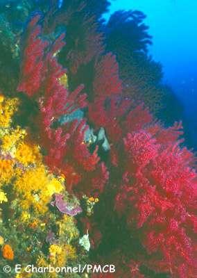 Le coralligène, habitat spectaculaire avec un tombant de gorgones rouges et des axinelles. © E. Charbonnel
