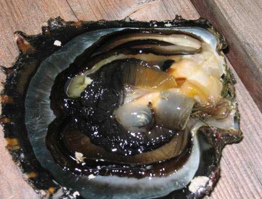 Une perle, par transparence, dans la poche perlière avant la récolte. © Ifremer, tous droits de reproduction interdits