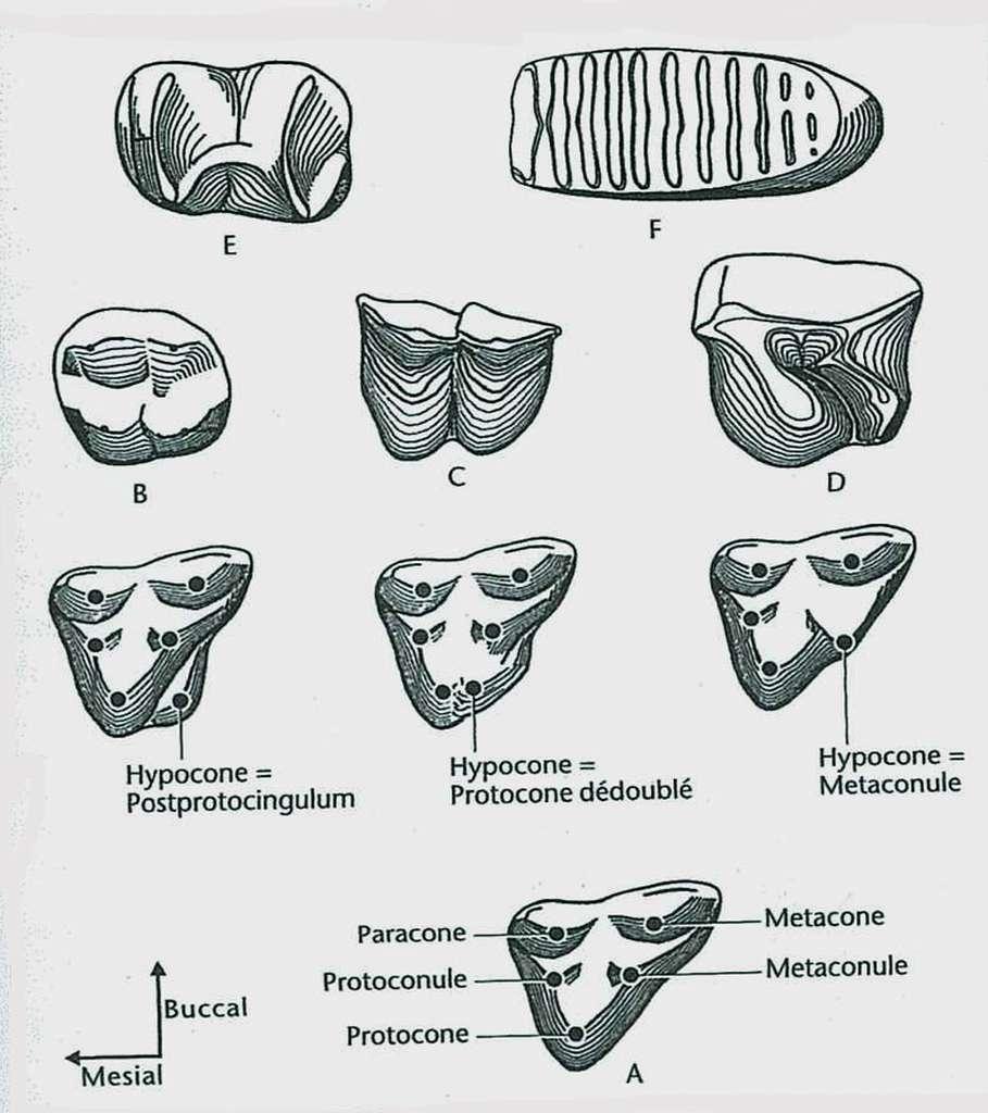 Diversité des patrons dentaires des molaires supérieures des principaux ordres de mammifères placentaires. Les différences de taille n'ont pas été prises en compte. © Jean-Louis Hartenberger