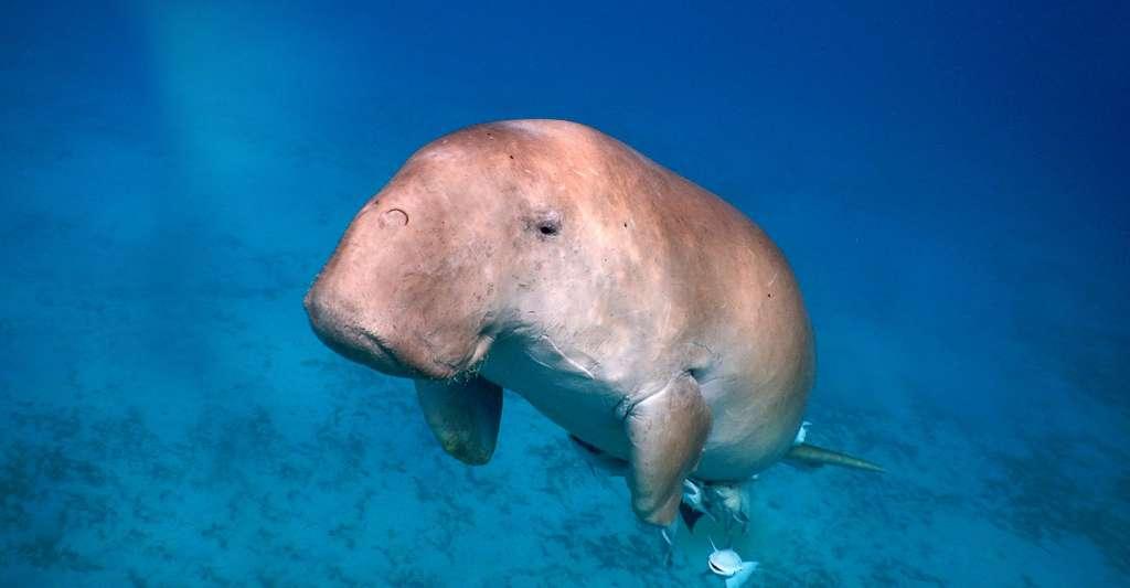 Le dugong, un cousin du lamantin. © AG Owen, Fotolia