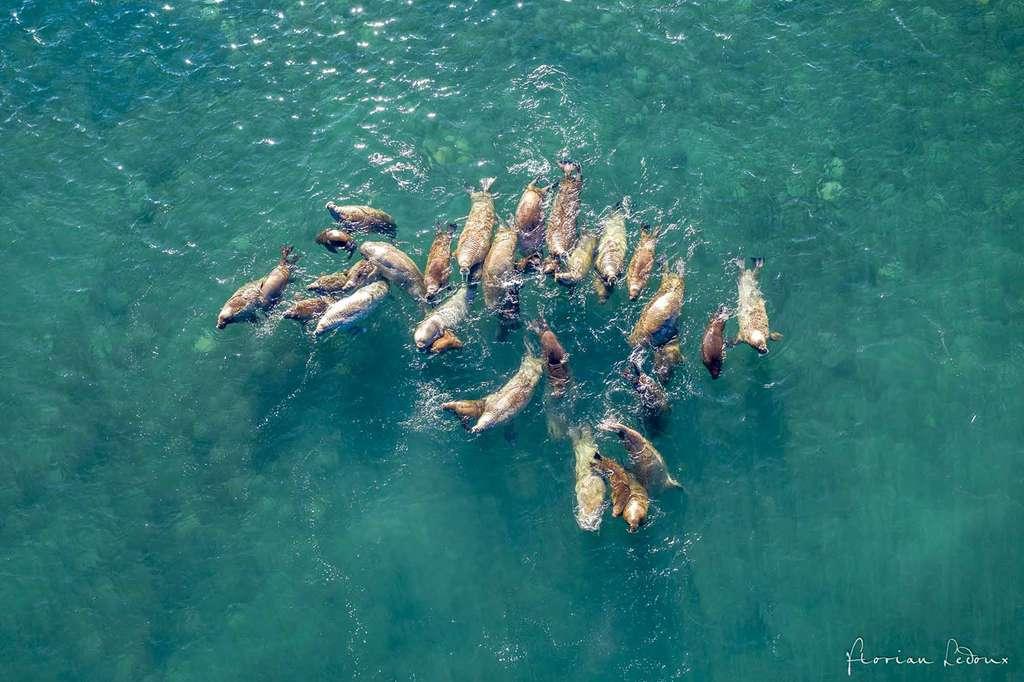 Vue aérienne de femelles morses et leurs petits évoluant dans l'eau. © Florian Ledoux, tous droits réservés
