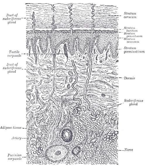 La structure de la peau avec le derme et l'épiderme, composé de la couche basale (stratum germinativum), la couche épineuse (stratum mucosum), la couche granuleuse (stratum granulosum), la couche claire (stratum lucidum) et la couche cornée (stratum corneum). © Henry Vandyke Carter - Henry Gray (1918) Anatomy of the Human Body, Wikipedia, DP