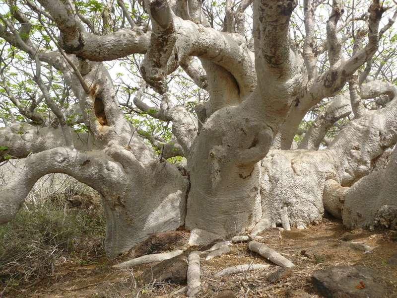 Baobab parasol aux branches envoûtantes