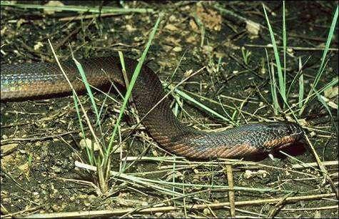 Le serpent caméléon Kapuas mud, ou Enhydris gyii, récemment découvert sur la partie indonésienne de l'île de Bornéo (Courtesy of WWF-Germany/Mark Auliya)