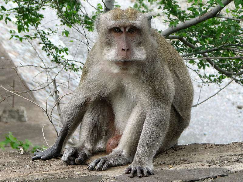 Macaque crabier. © Eric Bajart, GNU FDL Version 1.2