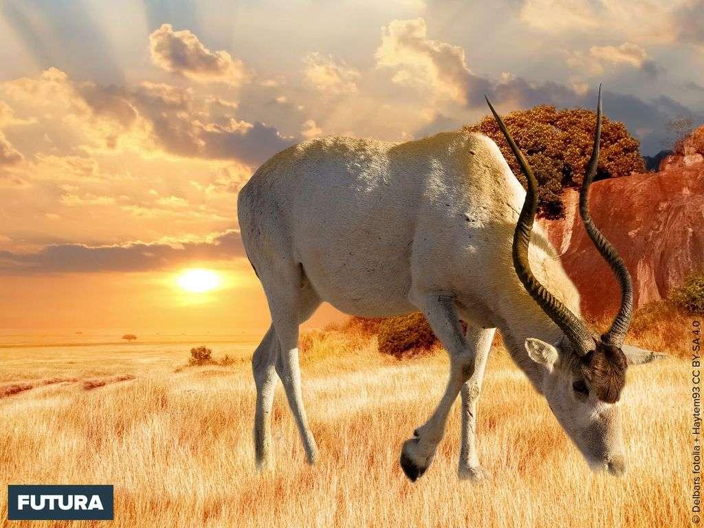 L'addax, antilope à nez tacheté est une espèce endémique de l'Afrique