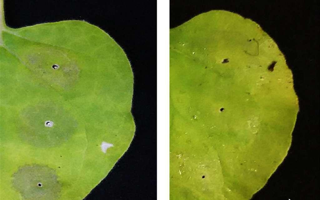 À gauche, une feuille de tabac transgénique non traitée. À droite, une feuille sur laquelle a été pulvérisé de l'acide ascorbique. Ce dernier empêche la mort cellulaire des cellules de la plante et la dégradation des protéines produites. © Université de Tsukuba