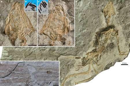 Epidexipteryx hui et sa queue formée de quatre longues plumes (d). © Nature, DR