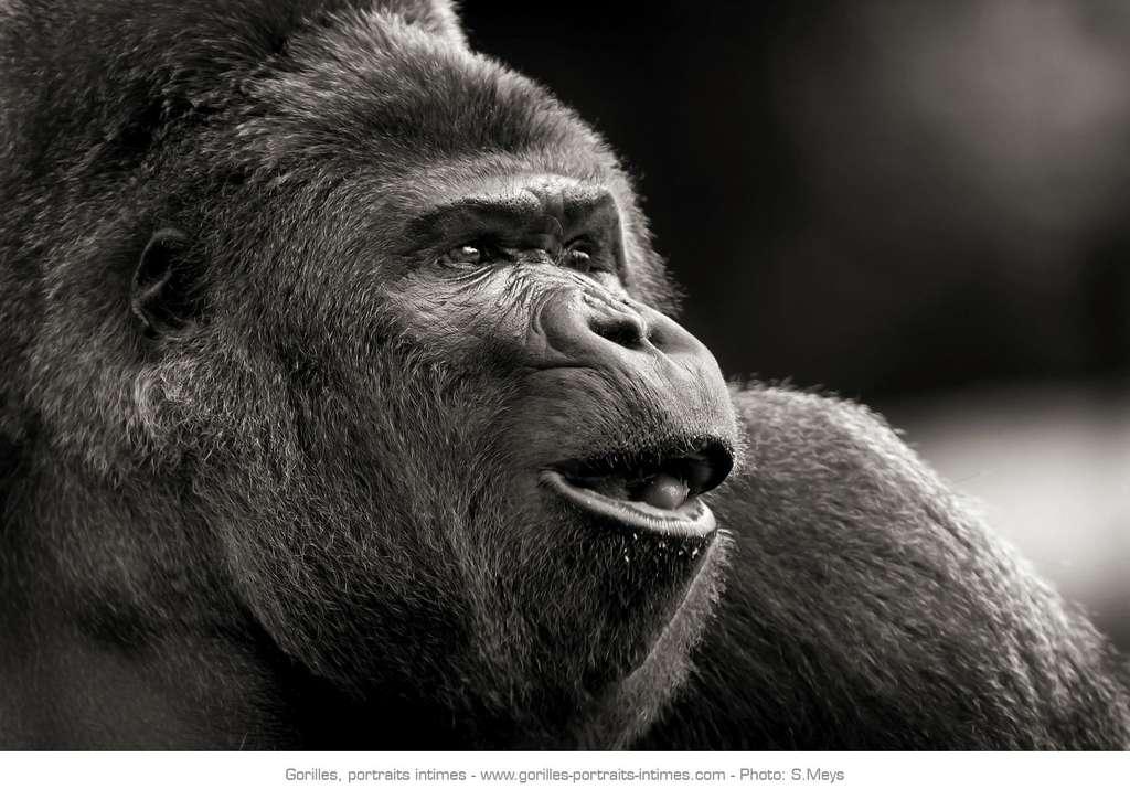 Gorille en pleine communication vocale