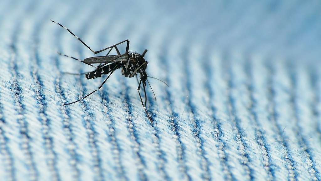 Le moustique-tigre Aedes albopictus vient d'Asie. © coniferconifer, Flickr, CC by 2.0