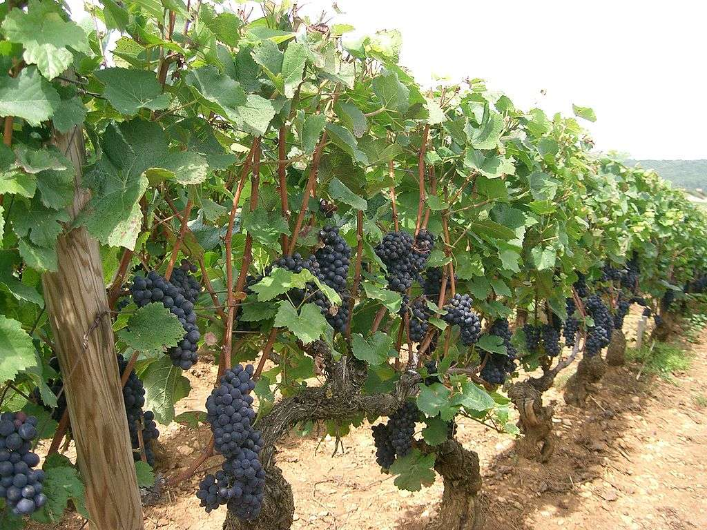 Vignes de pinot noir. © PRA, wikimedia commons, CC 3.0