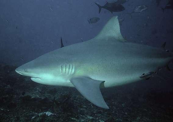 Requin bouledogue. © Terry Goss, GNU FDL Version 1.2