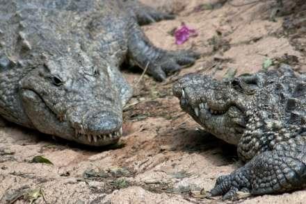 Rencontre entre deux crocodiles. © Peter Nijenhuis, Flickr, CC by-sa 2.0