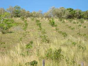 Cliquer pour agrandir. Plantation monospécifique de Jatropha destinée à la production d'agrocarburant. © Orgadem CC-by-sa