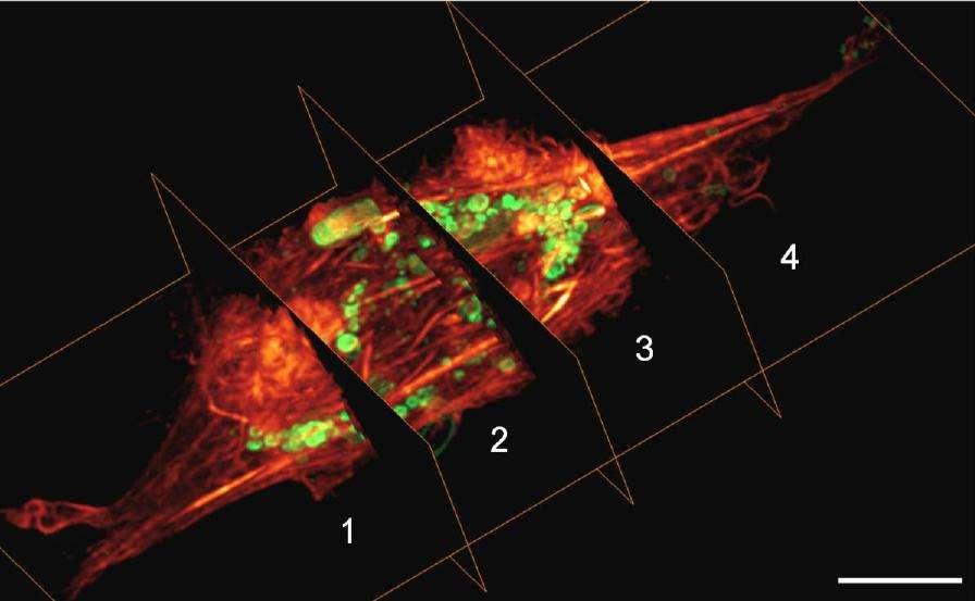 Les cellules peuvent être observées en temps réel et en 3D ! © Thomas A. Planchon et al., Nature Methods