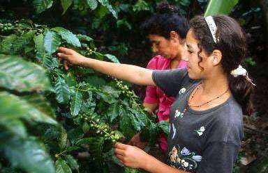 Récolte du café au Honduras. Plus de 20 millions de petites familles agricoles dépendent du café © FAO