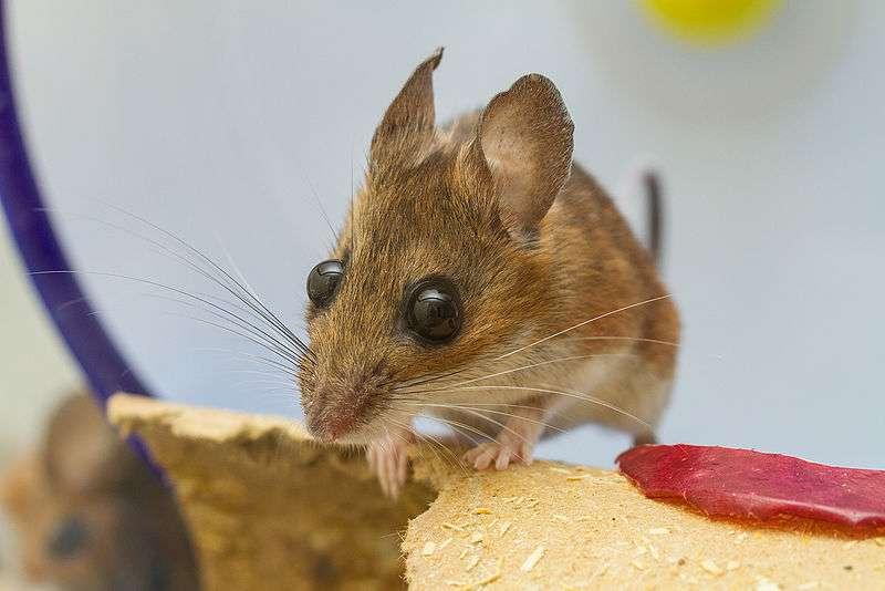 La souris à pattes blanches, répandue en Amérique du Nord, possède de grands yeux. © Charles Homler, Wikimedia Commons, cc by sa 3.0