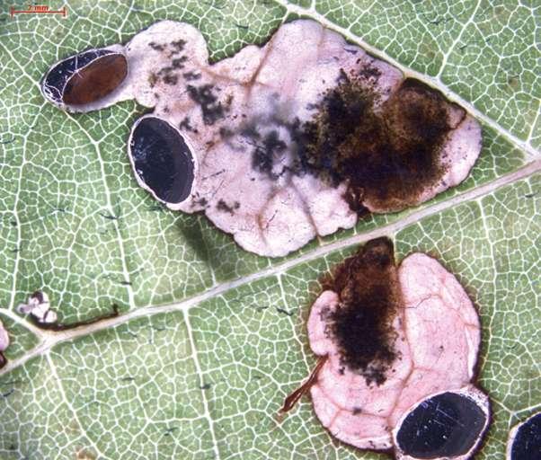 Dégâts provoqués par les larves d'Antispila oinophylla sur une feuille de vigne (Vitis vinifera). © Nieukerken et al. 2012, Zookeys