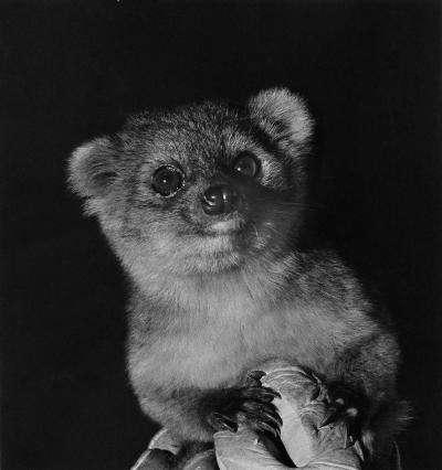Longtemps confondu avec d'autres olingos, Bassaricyon neblina a même été trouvé dans certains zoos. C'est un animal nocturne, qui se nourrit principalement de fruits. © I. Poglayen-Neuwall, cc by 3.0