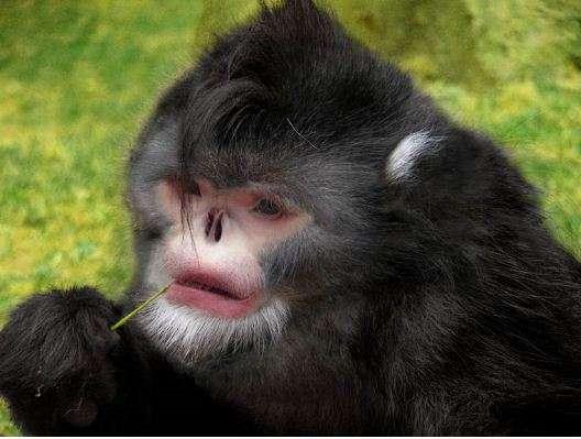 Reconstitution dessinée du nouveau rhinopithèque. Il n'est pas le seul primate à arborer un nez retroussé à ce point. L'article scientifique, dans la revue Journal of Primatology, montre notamment une photographie d'un de ses cousins, Rhinopithecus bieti, aux narines largement ouvertes. Cette anatomie pose problème les jours de pluie… © Thomas Geissmann