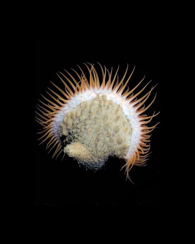 Une anémone de mer de toute beauté appelée Actinoscyphia aurelia
