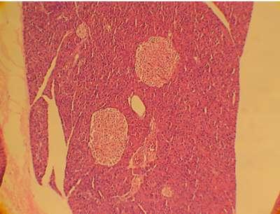 Coupe de pancréas. Au centre, on observe deux îlots de Langerhans, responsables de la fonction endocrine du pancréas. Parmi les cellules de ces îlots, se trouvent les cellules bêta (β), productrices d'insuline (l'hormone régulatrice de la glycémie). © Centre européen d'étude du diabète