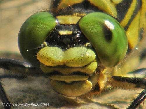 Gomphus à pinces, Onychogomphus forcipatus forcipatus. © Christian Kerihuel, reproduction et utilisation interdites