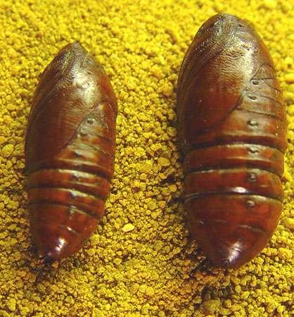 Chrysalides mâle (à gauche) et femelle (à droite) extraites de leur cocon. © Photo F. REI