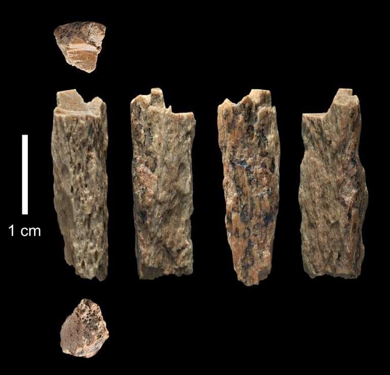 Cette photo prise le 14 juin 2015 et obtenue de l'université d'Oxford/Institut Max Planck, le 22 août 2018, montre un fragment d'os de « Denisova 11 », découvert en 2012, par des Russes dans les montagnes de l'Altaï en Sibérie. © Ian Cartwright - University of Oxford/Max Planck Institute/AFP