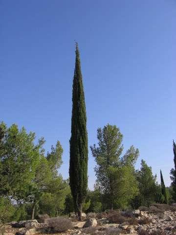 Le cyprès vert (Cupressus sempervirens) est un arbre allergisant. © Wikipédia, CC by-sa 2.5