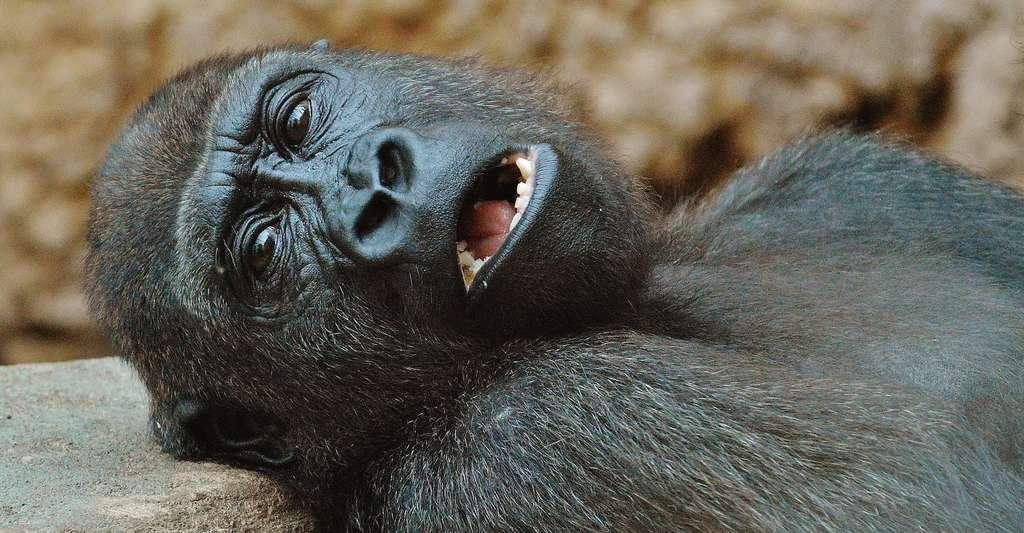 Gorilles, gibbons et tamarins semblent avoir été parmi les premiers séduits par la lumière du jour après l'extinction des dinosaures, même si, comme pour les autres mammifères, le passage d'une vie nocturne à une vie diurne a demandé quelques millions d'années. © Alexas_Fotos, Pixabay, CC0