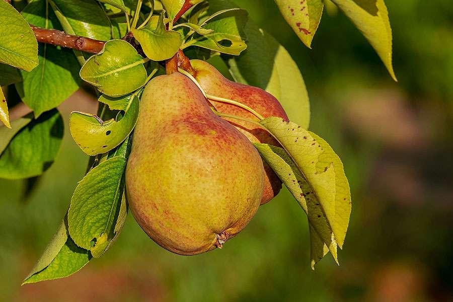 La cueillette des poires doit se faire en fonction de leur maturité. © Couleur, Pixabay, DP