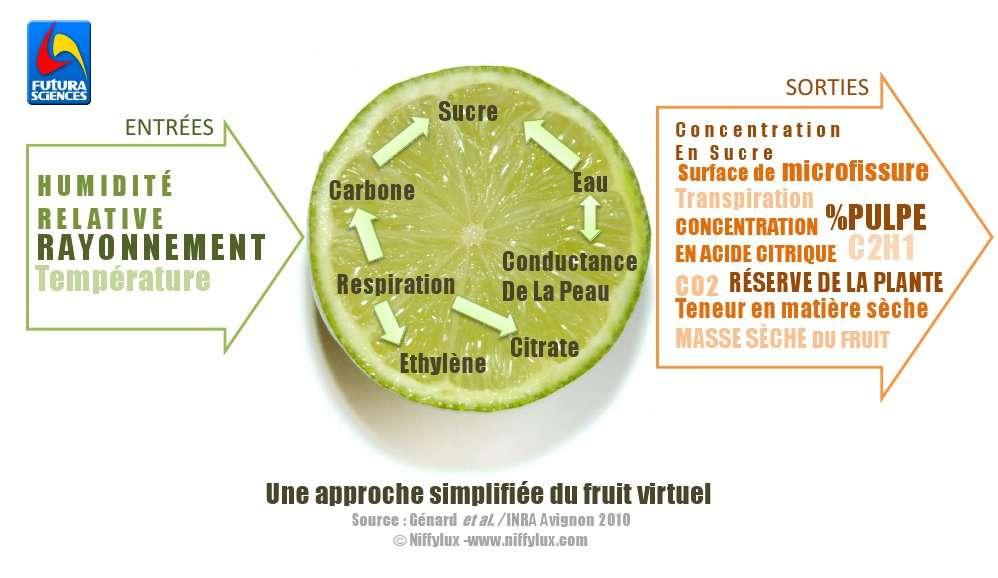 Une approche simplifiée du fruit virtuel. Source : Génard et al/Inra Avignon 2010 © Niffylux