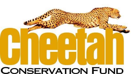 Le Cheetah Conservation Fund est créé en 1990 pour mieux comprendre le comportement du guépard et le protéger. © DR