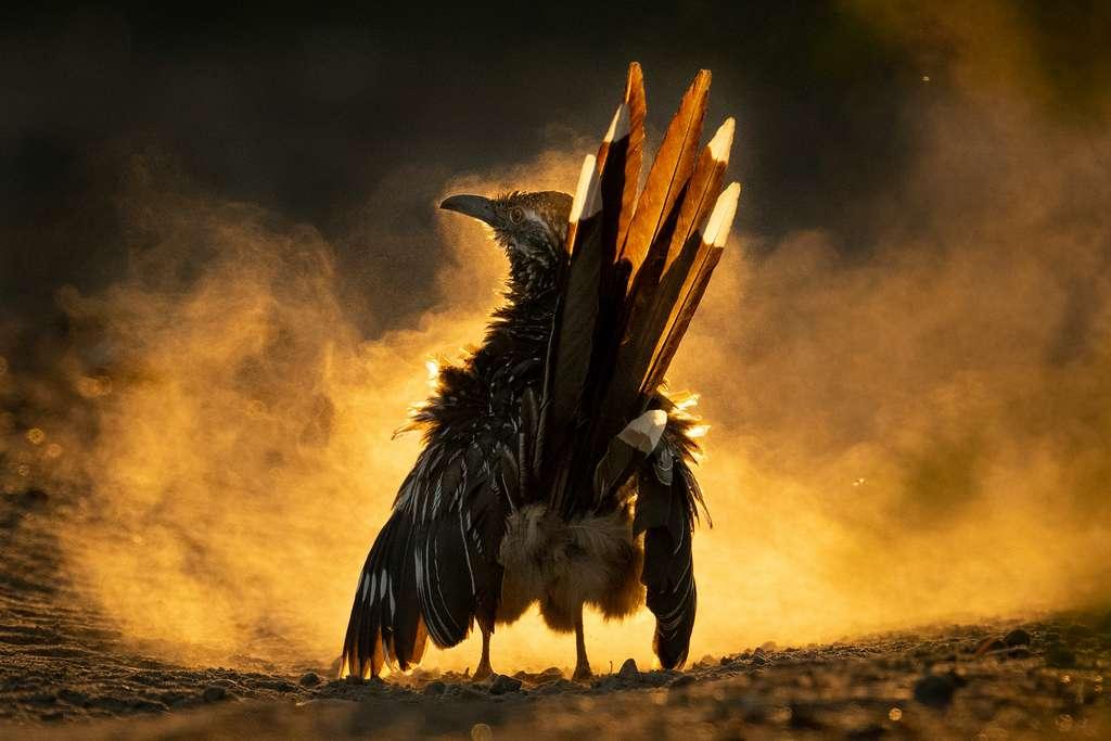 Grand géocoucou. © Carolina Fraser, Audubon Photography Awards 2021